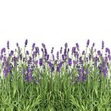 Fototapety fresh lavender flowers isolated on white