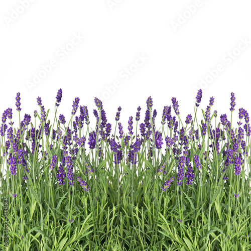Fototapety, obrazy : fresh lavender flowers isolated on white