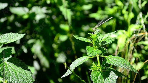 Small nimble dragonfly sits on a green leaf