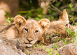 Cute Lion Cub with Mother