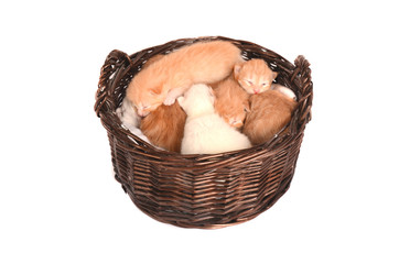 Newborn orange and white kittens in a basket.
