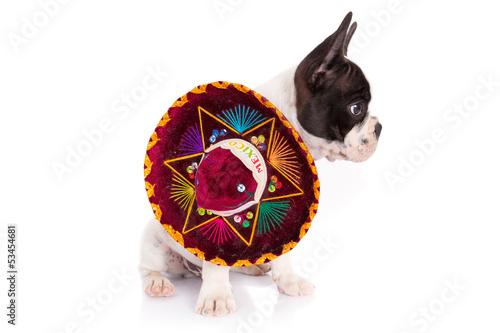 In de dag Art Studio French bulldog puppy in Mexican sombrero over white background