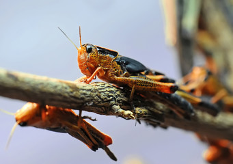 Locust is on a branch