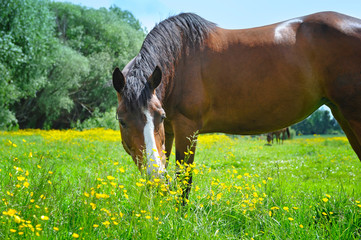 Horse on a pasture