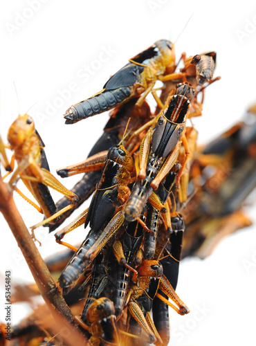 Locusts is on a branch on a white background