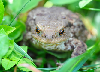 European toad (Bufo bufo) in a green grass