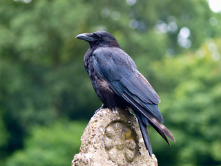 Black Carrion Crow on a stone