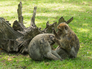 Barbary Macaque monkeys grooming