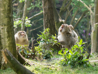Barbay macaque monkey family group