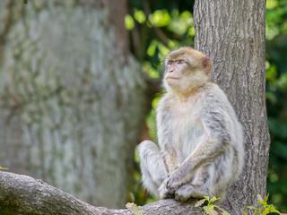 Barbarey macaque