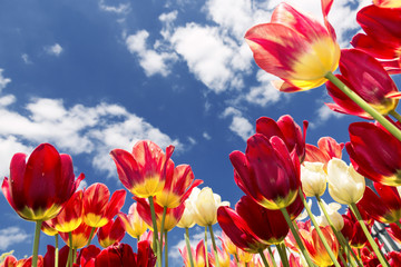 Red - yellow tulips against sky.
