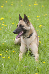Police dog sitting in a field