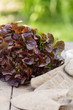 Frisch geernteter Eischblattsalat