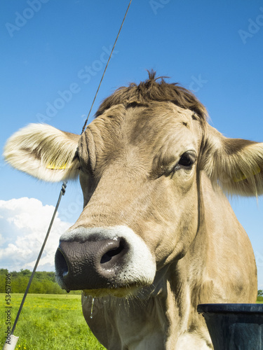 Grazing cow color image