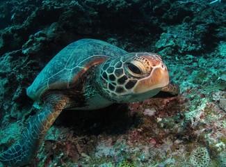 水底で休息するウミガメ
