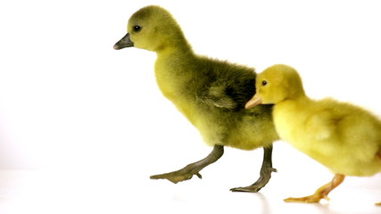 duckling and goseling are awkwardly walking together on a white