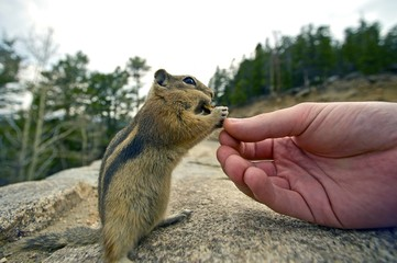 Feeding Chipmunk