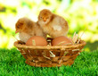 Little chickens with eggs in wicker basket