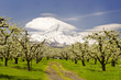 A view of orchards and mountain in Hood river