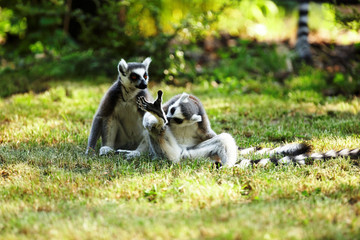 Cute lemur kata living in a group