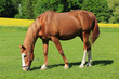 Grazing brown Horse on the green Pasture