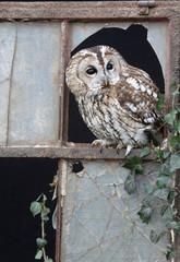 Tawny owl, Strix aluco