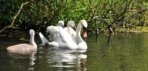 Mute Swan Mother And Her Babies