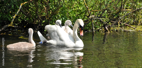 Foto op Canvas Zwaan Mute Swan Mother And Her Babies