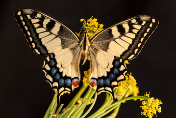 Common Swallowtail (Papilio machaon) on the flower