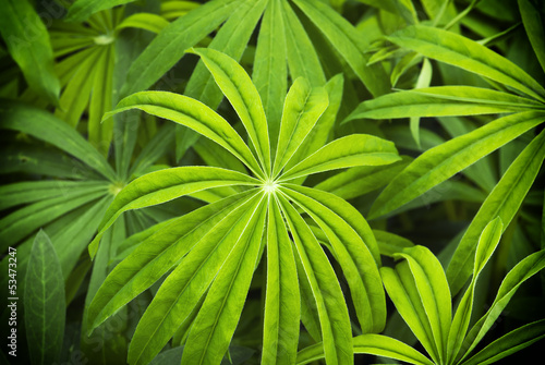 Leaves of lupinus