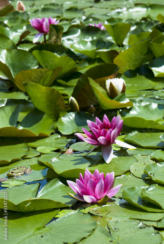 Pink water lily on the water