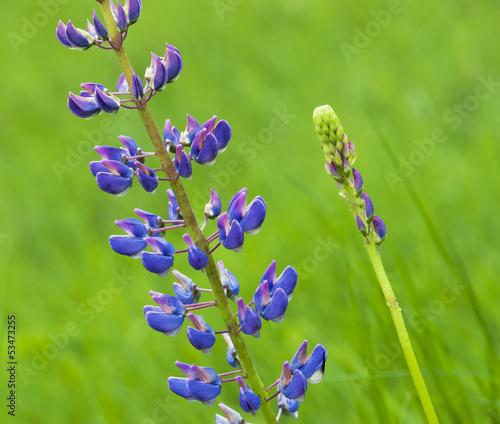 Flowering lupine