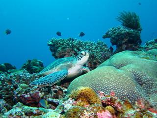 珊瑚の上で休息するウミガメ