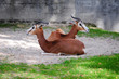 Springbok antelope (Antidorcas marsupialis)