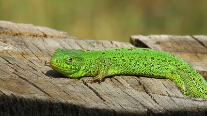 Sand lizard male basking in the sun upon the stump