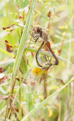 Mating dragonflies on a plant straw