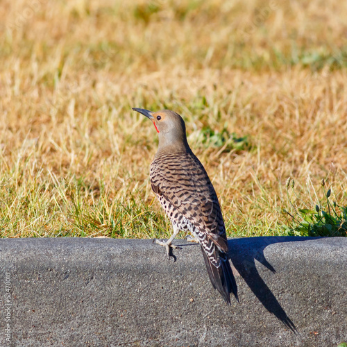 Resting Northern Flicker