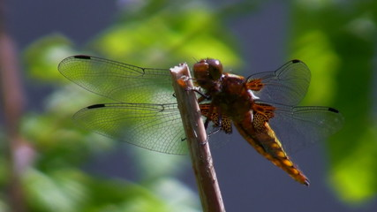 Dragonfly is resting on stem and faeces