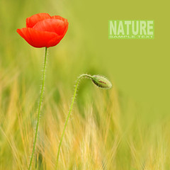 Red poppy (Papaver rhoeas) with space for your text.