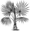 Plant Washingtonia filifera (California Fan Palm)