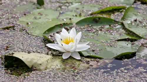 White lotus in a pond