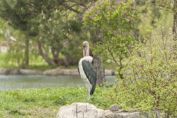 African Stork
