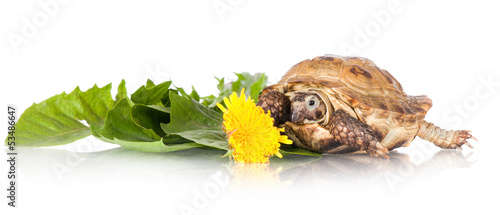 turtle with dandelions