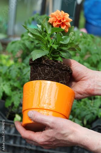 Foto op Aluminium Dahlia Putting dahlia into flowerpot
