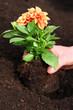 Planting dahlia seedling