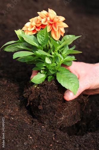 Poster Dahlia Planting dahlia seedling