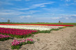 colorful tulip fields and windmill in Alkmaar