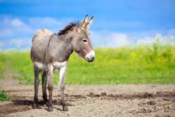 Grey donkey in field