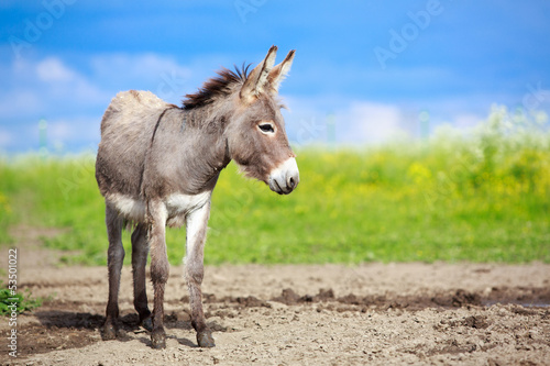Staande foto Ezel Grey donkey in field