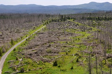 Forest destroyed by bark beetle and hurricane